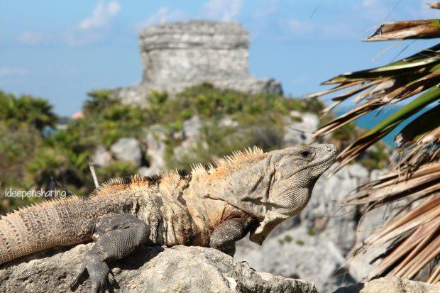 Una costante in questo viaggio...le iguane.